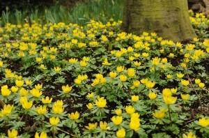 Rannik zimowy świetnie rośnie pod drzewami i krzewami liściastymi. Kwitnie na żółto. Fot. iBulb