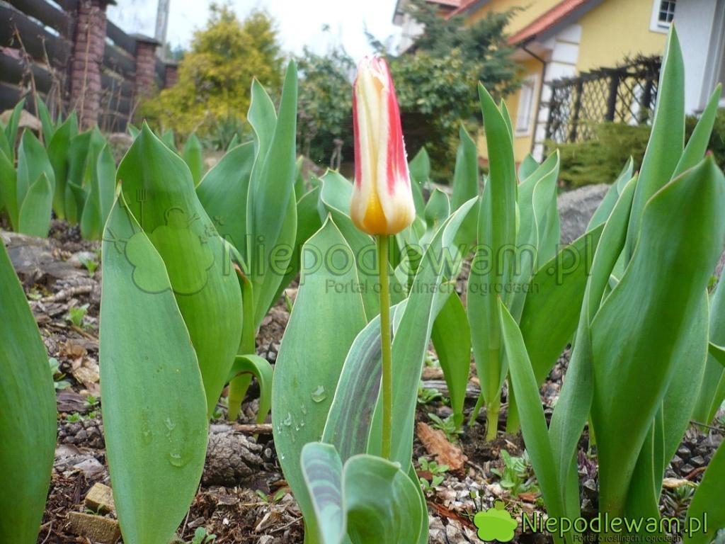 Tulipan Johann Strauss zakwita wcześnie - przedwiększością innych tulipanów. Fot.Niepodlewam