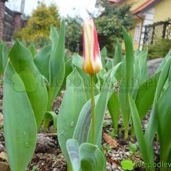 Tulipan Johann Strauss zakwita wcześnie - przed większością innych tulipanów. Fot. Niepodlewam