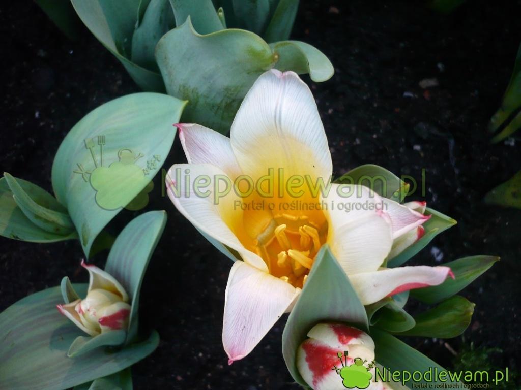 Wnętrza tulipanów Johann Strauss są żółte. Fot.Niepodlewam