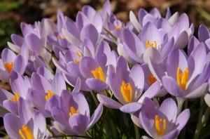 Krokus Siebera Violet Queen. Fot. iBulb
