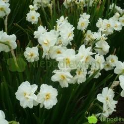Narcyz Sir Winston Churchill ma kwiaty białe, podwójne, z długimi płatkami. Środki są cieniowane na żółto. Fot. Niepodlewam