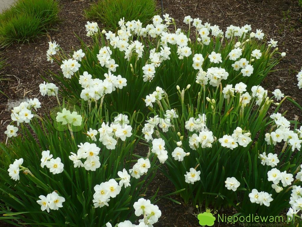 Nawożone  narcyzy Sir Winston Churchill tworzą łany kwiatów. Fot.Niepodlewam