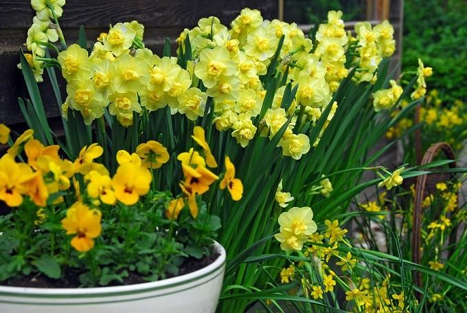 Narcyz Yellow Cheerfulness tostara odmiana. Ma żółte, podwójne kwiaty. Fot.iBulb