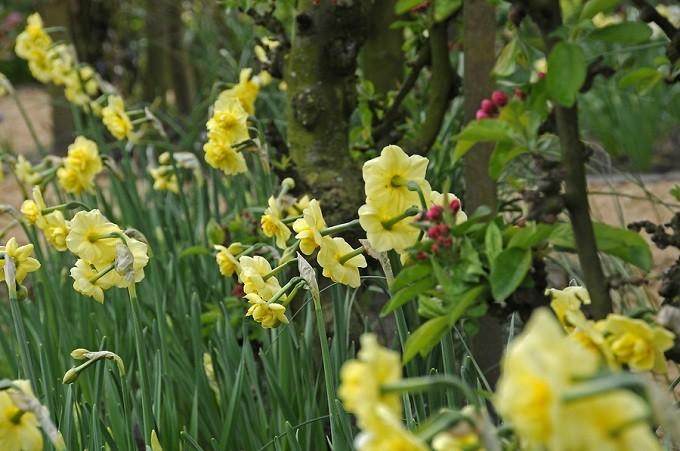 Narcyzy Yellow Cheerfulness kwitną późno. Delikatnie pachną. Fot.iBulb