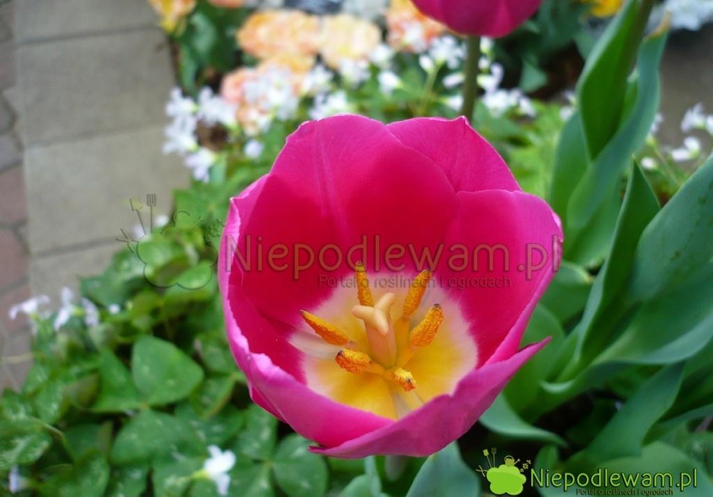 Tulipan Barcelona kwietnie naróżowe. Środek kwiatu jest żółty obwiedziony białym kolorem. Fot.Niepodlewam