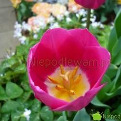 Tulipan Barcelona kwietnie na różowe. Środek kwiatu jest żółty obwiedziony białym kolorem. Fot. Niepodlewam