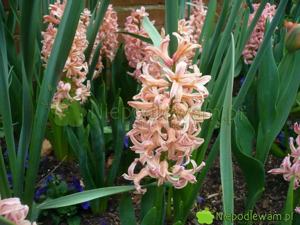 Hiacynt wschodni Gipsy Queen ma kwiaty łososiowe. Jego śliczny zapach jest znutą melona. Fot.Niepodlewam