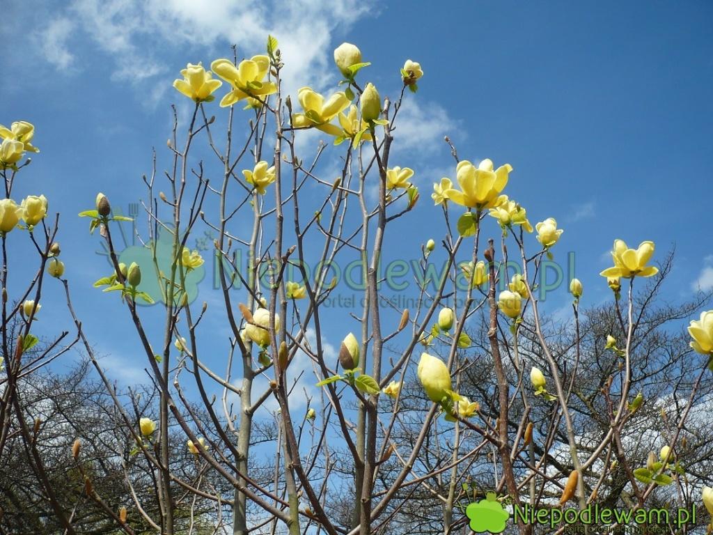Magnolie Lois zakwitają przedrozwinięciem liści. Fot.Niepodlewam