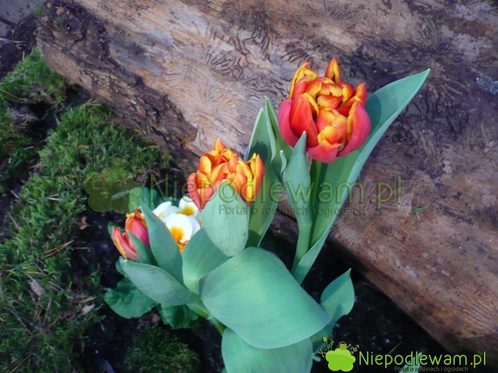 Tulipany Cilesta są niskie. Delikatnie pachną. Fot.Niepodlewam