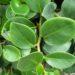 Peperomia tępolistna – uprawa, rozmnażanie, cięcie