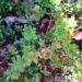 Uprawa żurawiny – wymagania, rozmnażanie, odporność
