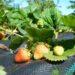 Czy ściółkować truskawki agrowłókniną z trocinami