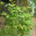 Glistnik jaskółcze ziele – przepis na gnojówkę roślinną