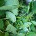 Dziki bez czarny i pokrzywa – przepis na gnojówkę roślinną