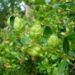 Miodówka bukszpanowa – jak zwalczać szkodnika