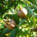 Owoce nieszpułki – jak jeść na surowo
