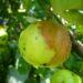 Gdy jabłka gniją na drzewach – 15 sposobów zapobiegania