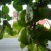 Jabłoń Kosztela – bardzo stara, odporna odmiana