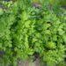 Lubczyk ogrodowy – uprawa i rozmnażanie