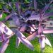 Trzykrotka purpurowa – uprawa, rozmnażanie, cięcie