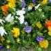 Bratek ogrodowy – uprawa i odporność