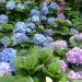 Hortensja ogrodowa  – uprawa, odporność, cięcie