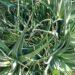Aloes zwyczajny – uprawa, rozmnażanie, cięcie